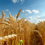 Найдорожча оренда сільськогосподарських угідь на Золотоніщині, – Держземагентство