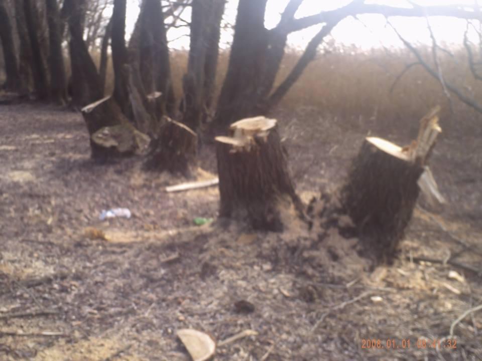 Вирубування дерев Чапаєвка 01