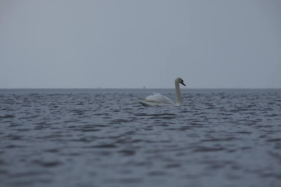 лебеді на дніпрі 01