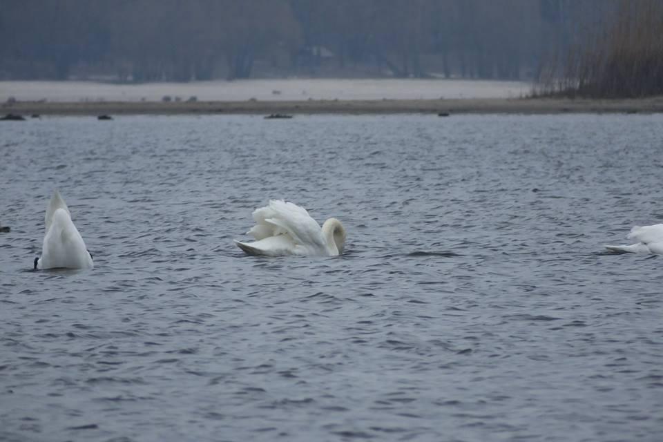 лебеді на дніпрі 02