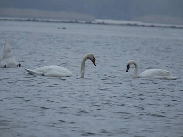 лебеді на дніпрі 04