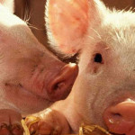 Золотоніські свиноферми увійшли до рейтингу найкращих в країні