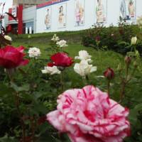 алея-троянд