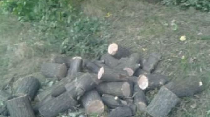лісництво вирубка дуба 04