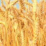 Земельні паї навколо Золотоноші – найдорожчі на Черкащині