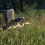 Краса, яку ми не помічаємо: ранковий туман  та елегантні птахи на річці Кропивна [ФОТО]