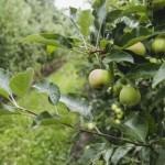 """92 гектари яблунь: фото-екскурсія на """"Золотоніські сади"""" [ФОТО]"""