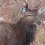 У Коробівському мисливському господарстві рятували оленя, що впав під кригу [ФОТО, ВІДЕО]