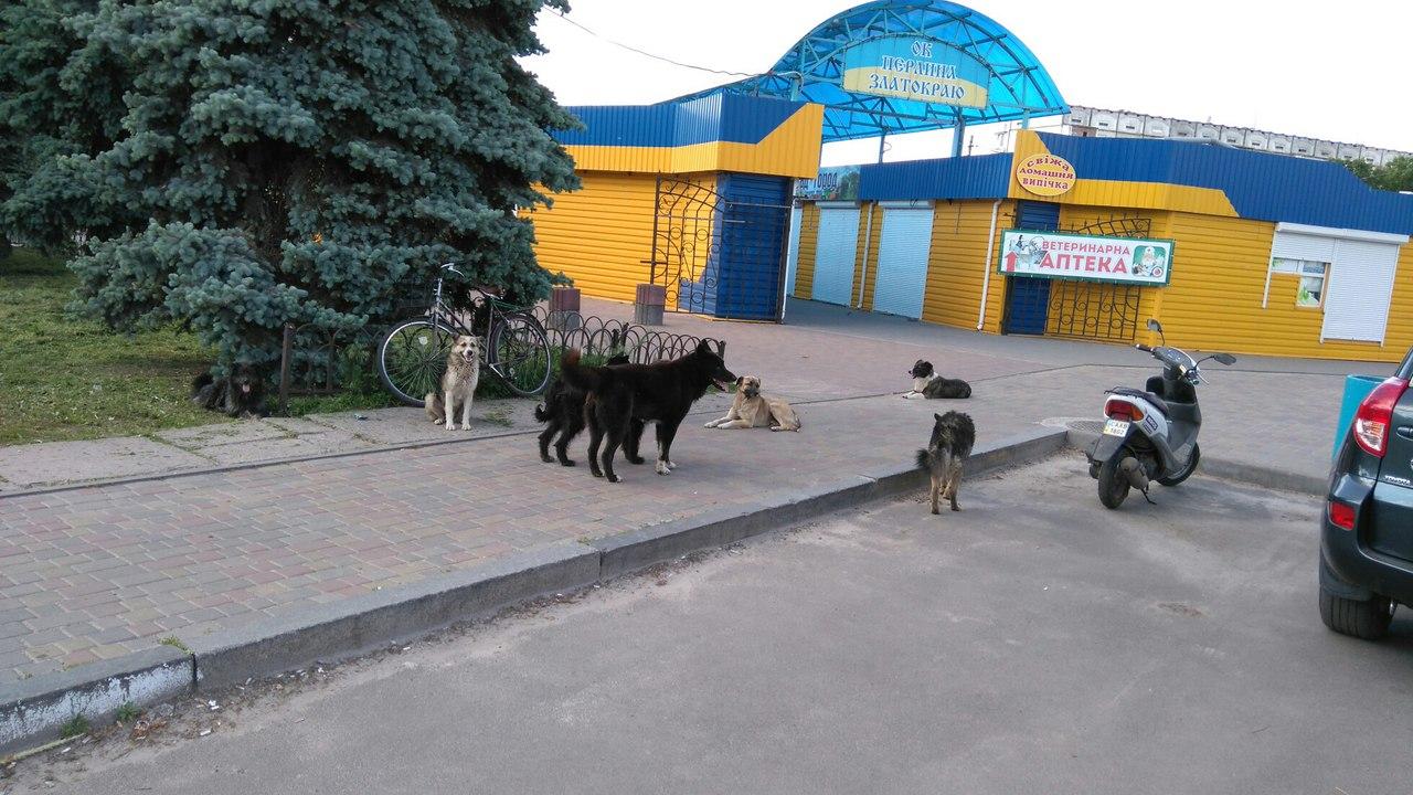 Зграї покинутих агресивних собак - складна проблема, від якої золотонісці не можуть звільнитися вже зо два десятки років. Перспектива має з'явитися вже наприкінці січня