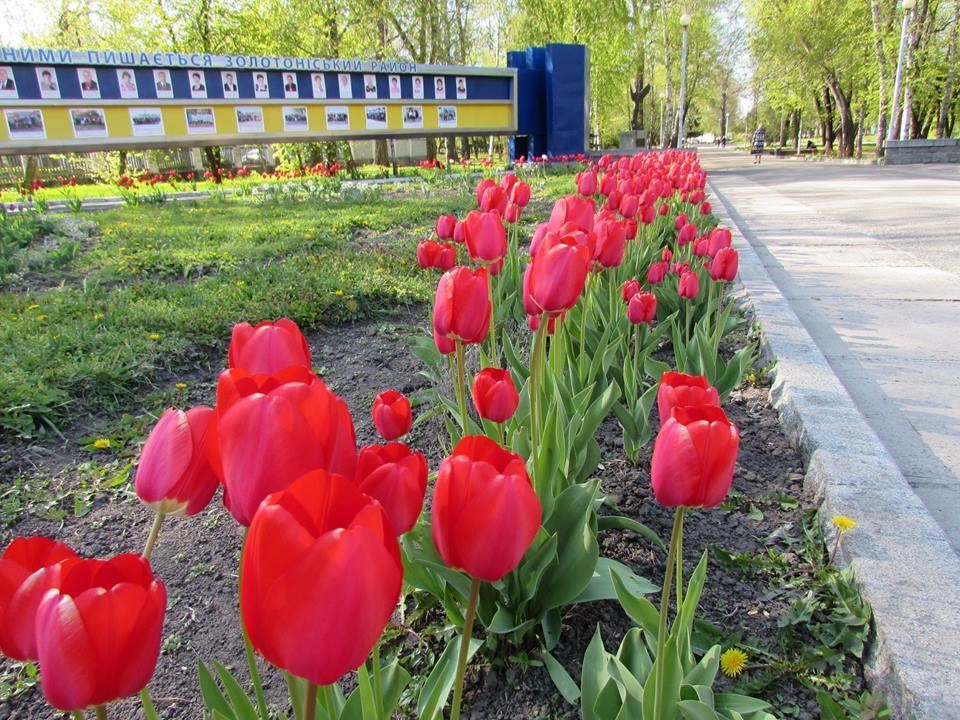 тюльпани золотоноша