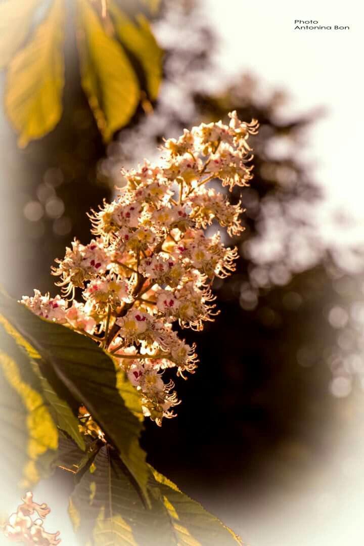 Золотоноша квіти